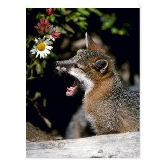 Gray Fox-young kit Post Card
