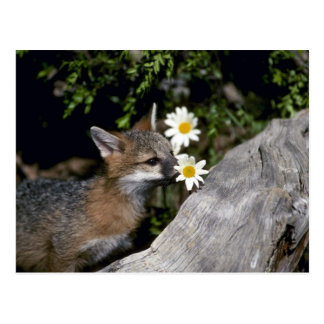 Gray Fox-young kit sniffing/eating flower Postcards