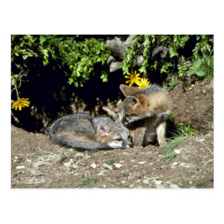Gray Foxes-young kits at den mouth Post Cards