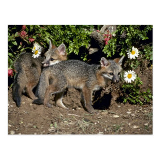 Gray Foxes-young kits at den Post Card