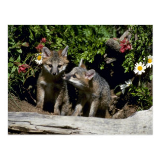 Gray Foxes-young kits at den Post Cards