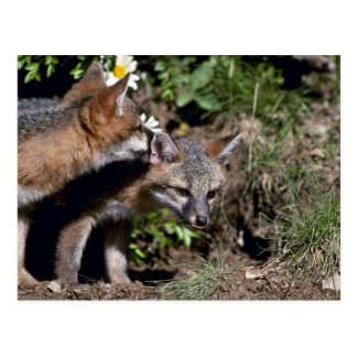 Gray Foxes-young kits Post Cards