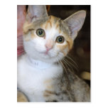 Gray(Grey) Tabby/White Mixed Kitten Postcards