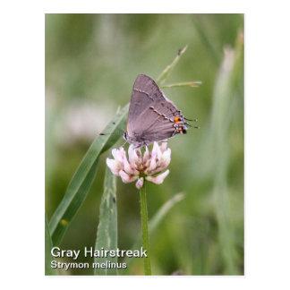 Gray Hairstreak Postcard
