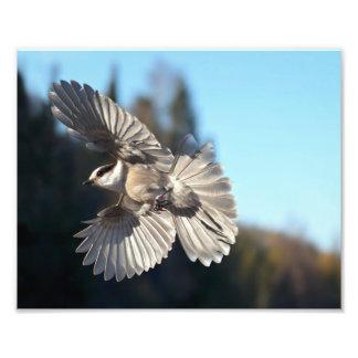 Gray Jay In Flight Art Photo