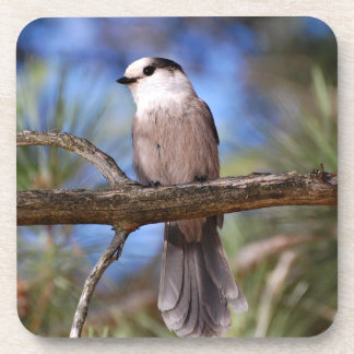 Gray Jay On A Branch Drink Coaster