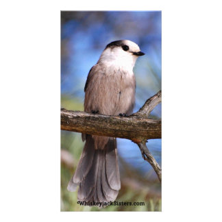 Gray Jay On A Branch Picture Card