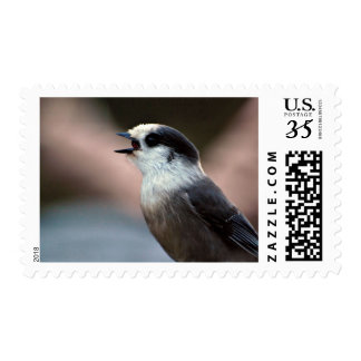 Gray Jay Swallowing a Cranberry Postage Stamp