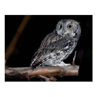 Gray Morph Eastern Screech-Owl at Midnight Postcard