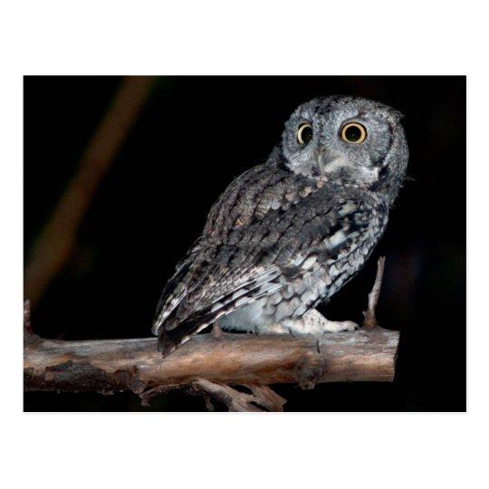 Gray Morph Eastern Screech-Owl at Midnight Postcard