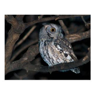 Gray Morph Eastern ScreechOwl at Night Postcard