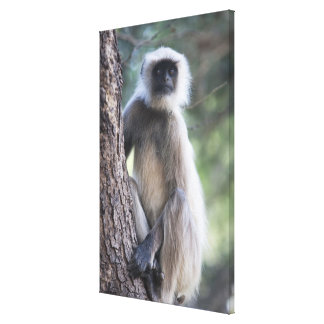 Gray or common or Hanuman langur Stretched Canvas Print