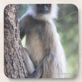 Gray or common or Hanuman langur Drink Coasters