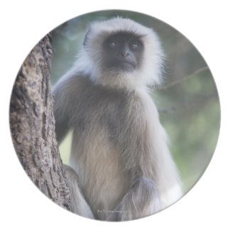 Gray or common or Hanuman langur Dinner Plate