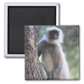 Gray or common or Hanuman langur Magnet