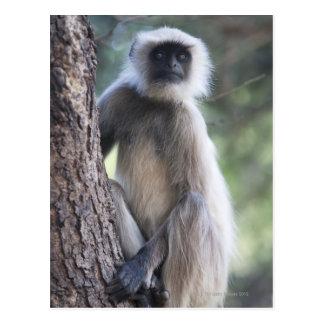 Gray or common or Hanuman langur Postcards