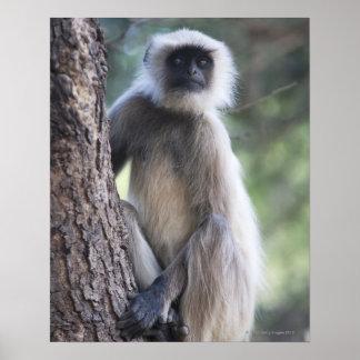 Gray or common or Hanuman langur Posters