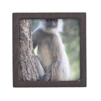 Gray or common or Hanuman langur Premium Trinket Box