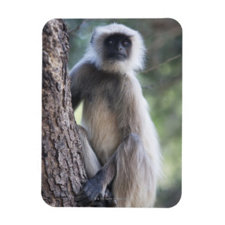 Gray or common or Hanuman langur Rectangle Magnets