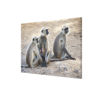 Gray or common or Hanuman langur Semnopithecus Stretched Canvas Prints