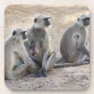 Gray or common or Hanuman langur Semnopithecus Beverage Coaster