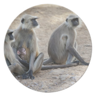 Gray or common or Hanuman langur Semnopithecus Dinner Plate