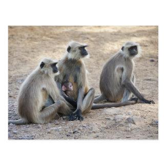 Gray or common or Hanuman langur Semnopithecus Post Cards