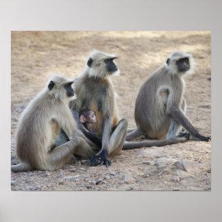 Gray or common or Hanuman langur Semnopithecus Print