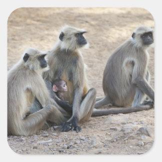 Gray or common or Hanuman langur Semnopithecus Stickers