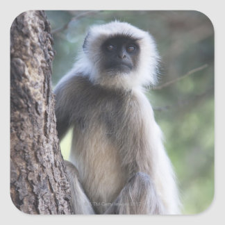 Gray or common or Hanuman langur Sticker