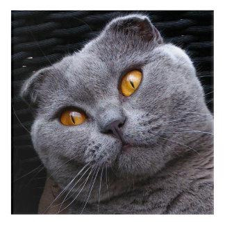 Gray scottish fold cat acrylic print