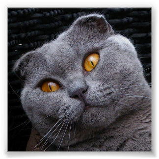 Gray scottish fold cat poster