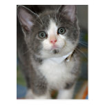 Gray/Silver/Grey and White Kitten Postcards