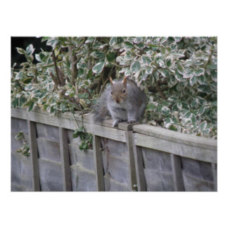 Gray Squirrel and Ivy Bush Poster