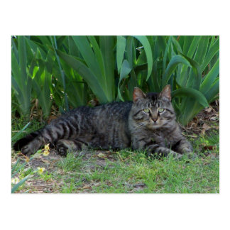 Gray Tabby Cat by Irises Postcard