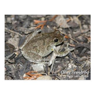 Gray Tree Frog Postcard