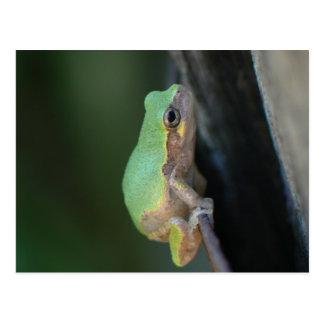 Gray Tree Frog Postcard. Postcard