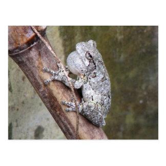 Gray Treefrog Croaking Postcard