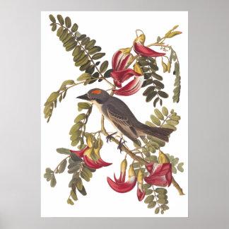 Gray Tyrant Kingbird Audubon Vintage Art Bookplate Poster