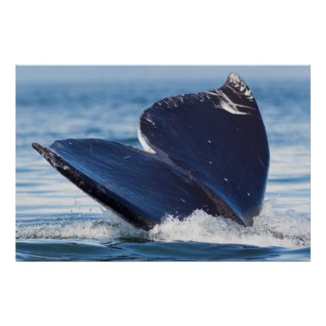 USA Themed Gray Whale Diving, Hood Canal, Washington State Poster
