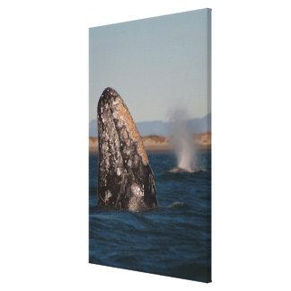 Gray Whale Head Portrait Canvas Print