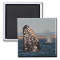 Gray Whale Head Portrait Magnet