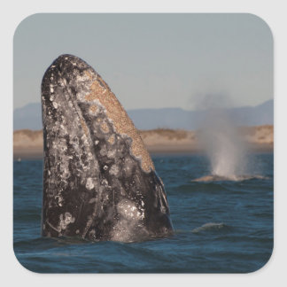 Gray Whale Head Portrait Square Sticker