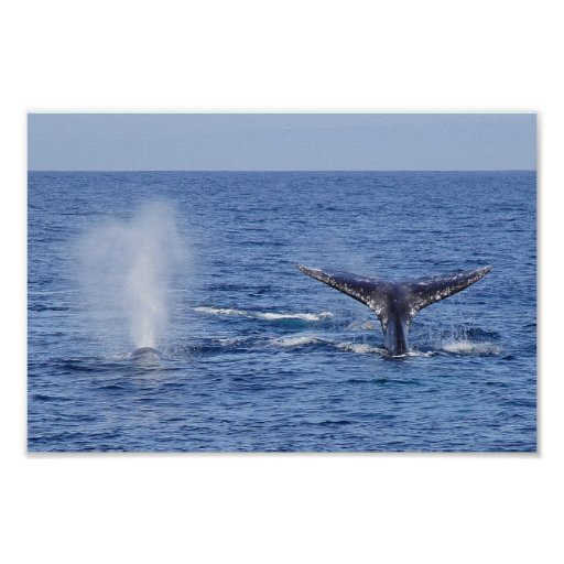Gray Whales Tail Fluke and Blow - Print
