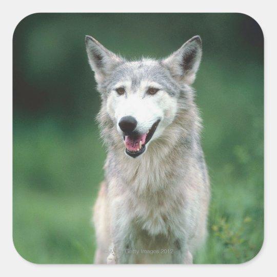 Gray wolf 2 square sticker