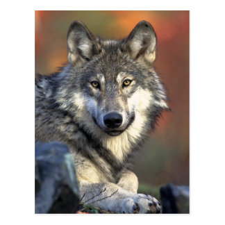 Gray Wolf Art Postcard