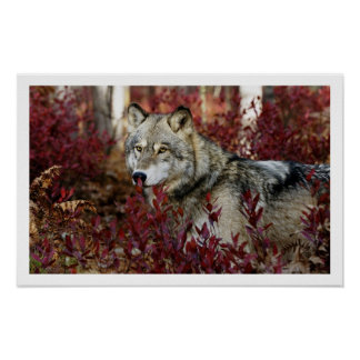 Gray Wolf Art Print Poster