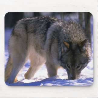 Gray Wolf at edge of snowy forest, eye contact Mouse Pad