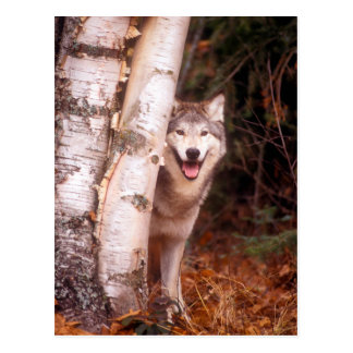 Gray Wolf Behind a Tree Postcard