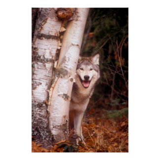 Gray Wolf Behind a Tree Poster